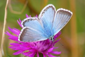 The chalkhill blue